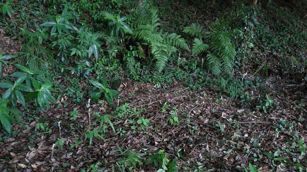 タシロランは丘の裾野の、薄暗い林下ににょきにょき出ていました。