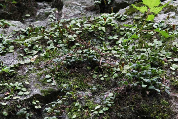 中心付近と右手前の濃い緑色の葉の集団がムギラン。他はマメヅタの葉。紛らわしいね。