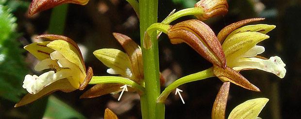 コケイランの花柄子房は180°ねじれる  2007.06.23 群馬県 野反湖
