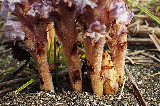ハマウツボの茎や鱗片葉の様子