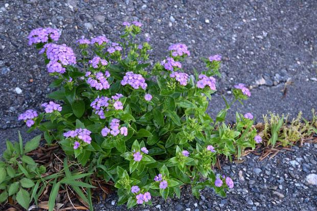 ハマナデシコ  岩場や漁港のコンクリートの隙間に逞しく咲いていた