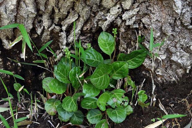 イチヤクソウ (一薬草) ツツジ科 イチヤクソウ属  まだ花茎を上げ始めたところ