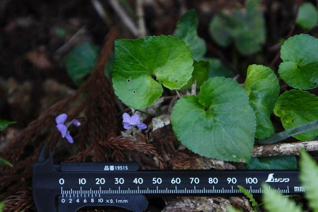 少し離れた場所にいたナガハシスミレ 葉は大きく、基部は深い心形。