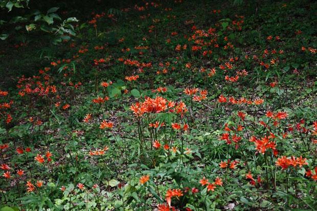 キツネノカミソリは奥行20〜30m、長さ200mほどの斜面にたくさん咲いていました
