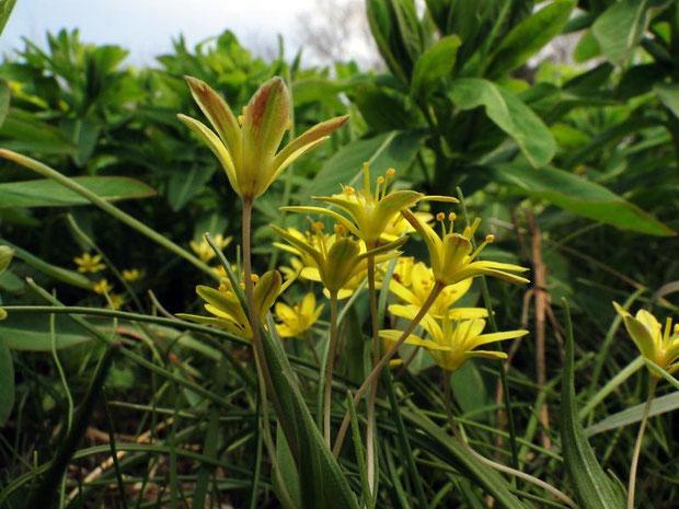 ヒメアマナ 2012.04.05  花被片の外側は一部が赤みを帯びます。 花柄も細いですね〜