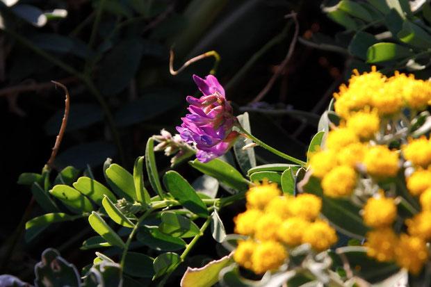 イソギクと共に咲くヒロハクサフジ