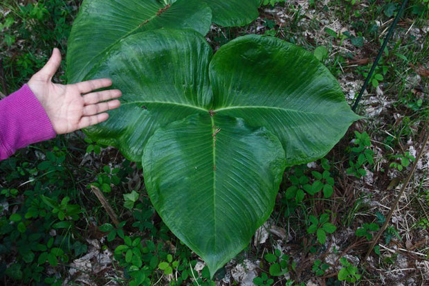 ムサシアブミの葉は2個つき、1個は3個の小葉からなります。小葉1個でも手と比べてこんなに大きい!