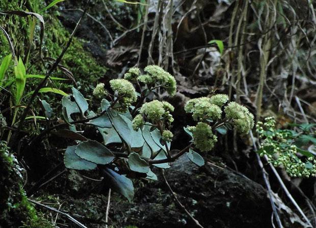 #8 崖の上部には数株が固まって咲いていました