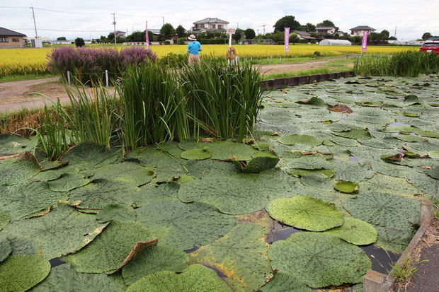 埼玉県加須市のオニバス池