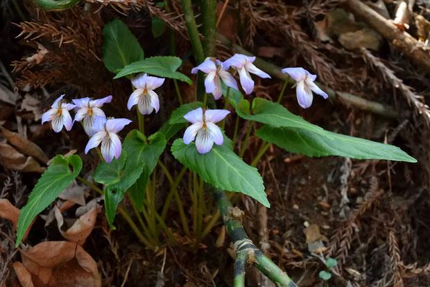 ナガバノスミレサイシン  元気に咲いて見頃の花がたくさん