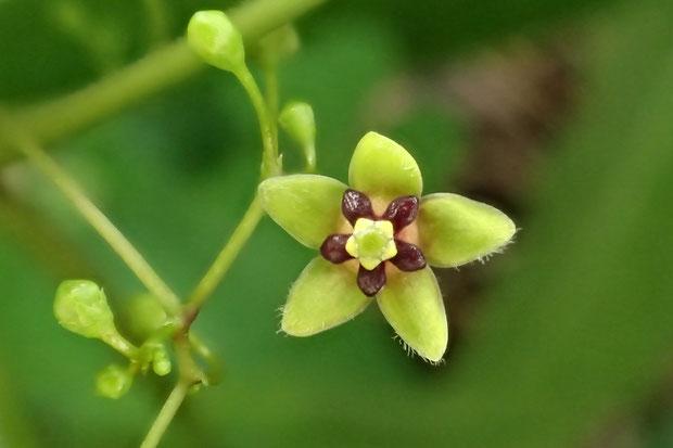 オオカモメヅルの花 直径は4〜6mmほどで小さい! 開花したてのせいか、萼の軟毛が少ない