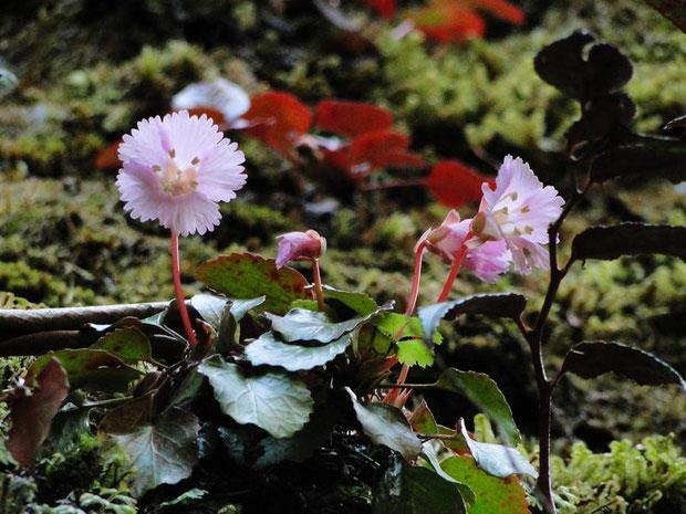 トクワカソウ 2010.04.03 岐阜県 奥美濃