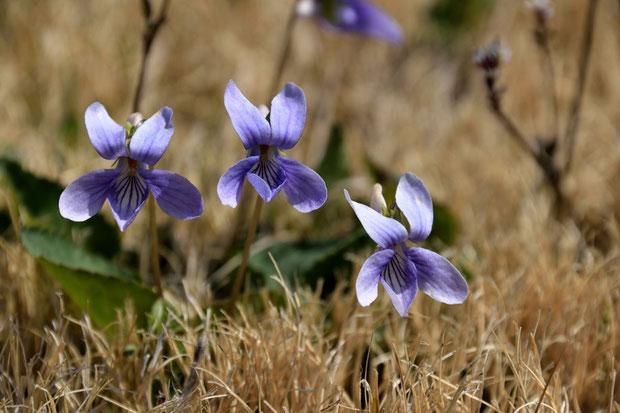 コスミレ (小菫) スミレ科 スミレ属  近所の芝生に咲いていた