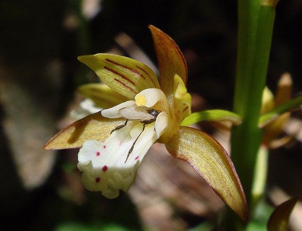 コケイラン 昆虫の訪花  2007.06.23 群馬県 野反湖