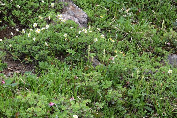 オゼソウは他の高山植物が生い茂る場所にも咲いていた