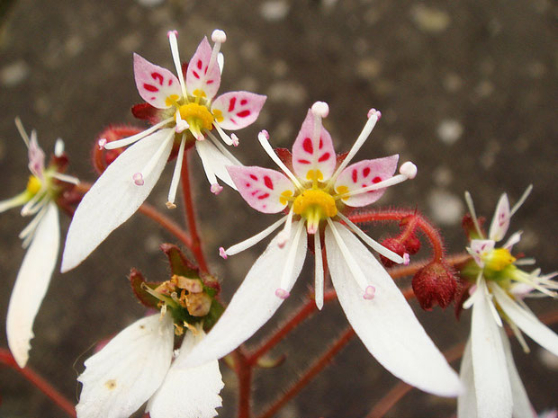 #11 ユキノシタの上側3花弁の濃紅色の斑紋にご注目  2007.06.24 群馬県吾妻郡
