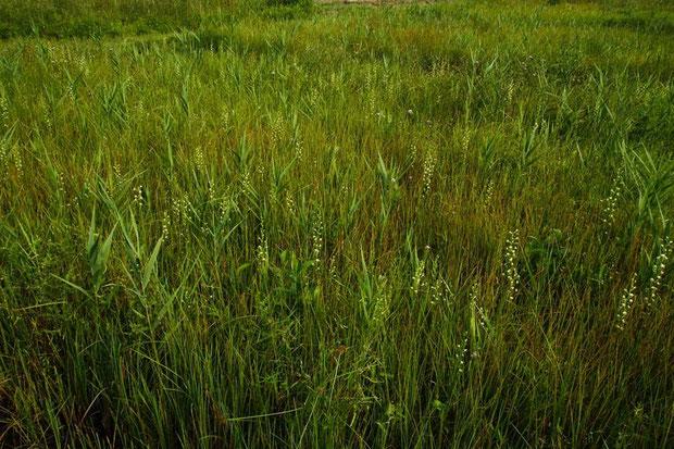 ミズトンボの自生する湿原