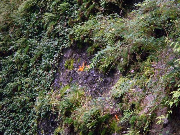 ミヤマスカシユリ (深山透かし百合) ユリ科 ユリ属  岩壁に垂れ下がるように咲く。 遠い!