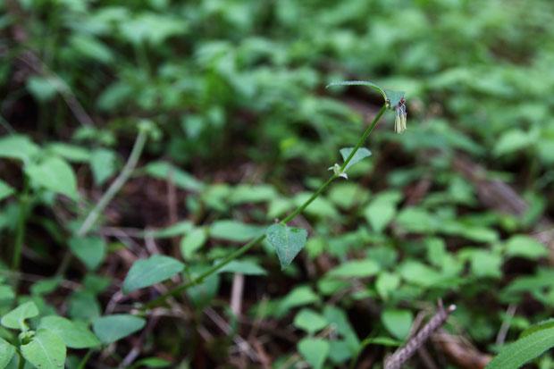 ヤマトグサ (大和草) アカネ科 ヤマトグサ属  牧野富太郎先生が発見し、日本人として初めて命名した