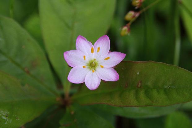 ツマトリソウ (褄取草) サクラソウ科 ツマトリソウ属  特に色が濃い花がありました