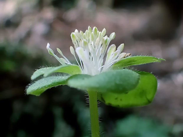 #6 ミドリニリンソウの花2 花の側面