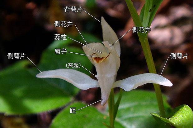 ユウシュンランの花の構造(背萼片、側花弁、側萼片、唇弁、距)