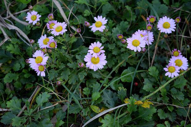 コハマギク (小浜菊) キク科 キク属  今回はピンク色がやや濃い花に出逢えた