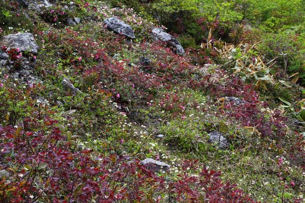 イワカガミ、ミツバオウレンなどが咲き乱れる