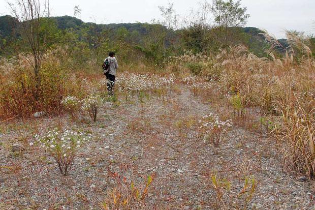 カワラノギクの自生地の周辺はススキに取り囲まれていた。 一部は中への侵入も始まっていた。 ここはクズよりススキが問題