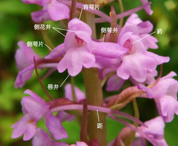 テガタチドリ 2012.07.17 長野県