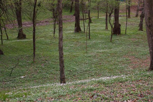 地面一面に広がる白い点々はすべてニリンソウの花