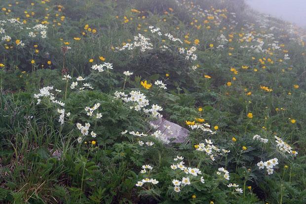 高山植物が咲き乱れる 白い花はハクサンイチゲ (白山一華) キンポウゲ科