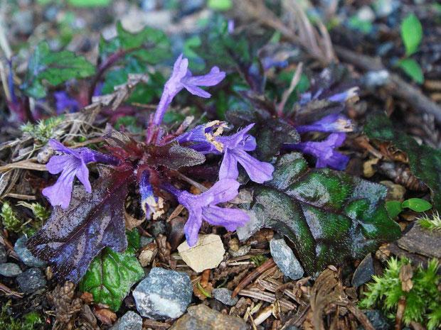 タチキランソウ  花が終わりかけた株は、葉が紫色を帯びてメタリックさを出していた