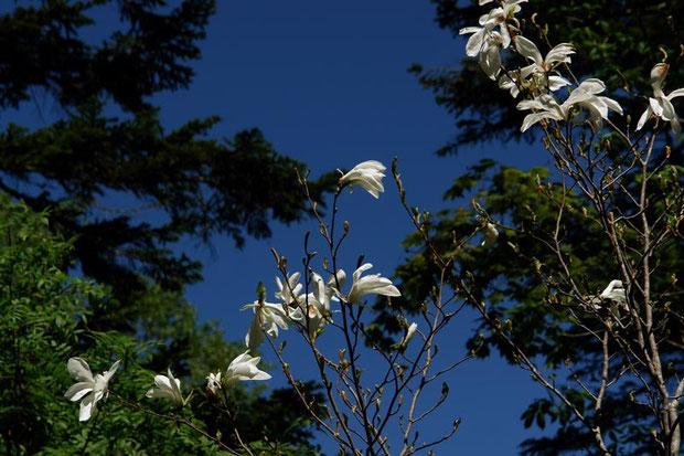 タムシバの花が青空に映える