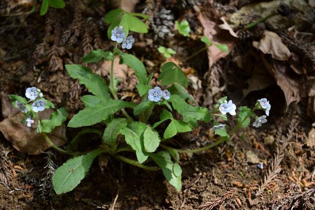 普通の花色のヤマルリソウもたくさん咲いていた