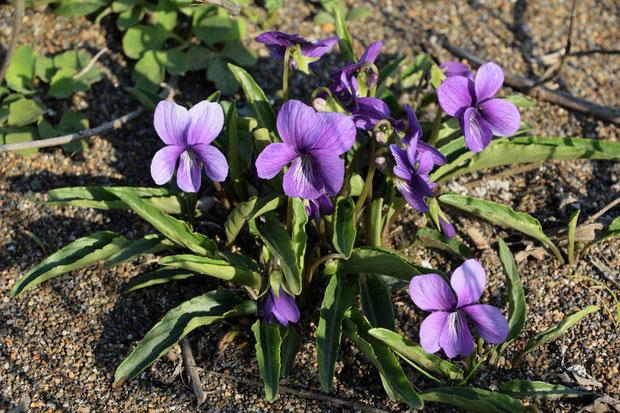 アナマスミレの葉は厚く、光沢が強く、細長い。 内側に強く巻むのが 特徴です