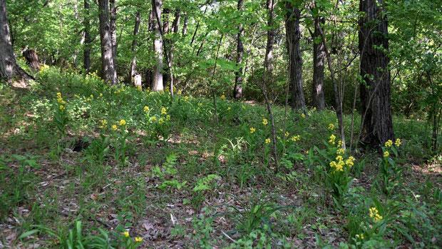 昨年ほどの賑やかさはないが、やはりキンランがたくさん咲いていた