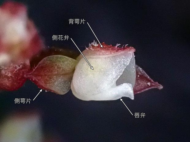ヤクシマアカシュスランの花の背萼片と側花弁の境界に隙間はなく、シュスラン属と同様、合着しているように見える