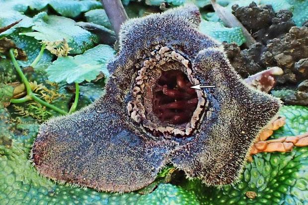 カギガタアオイの花は花柱上部が外側に反曲する