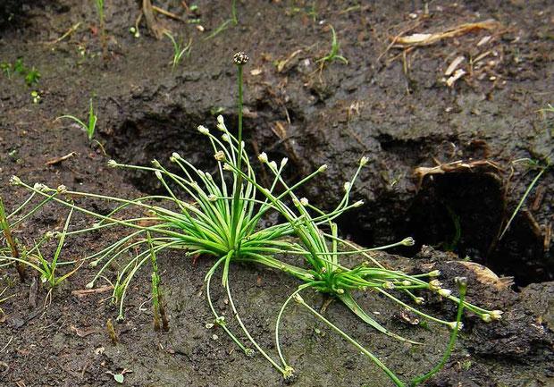 ノソリホシクサ (野反星草) ホシクサ科 ホシクサ属 Eriocaulon nanellum var. nosoriense