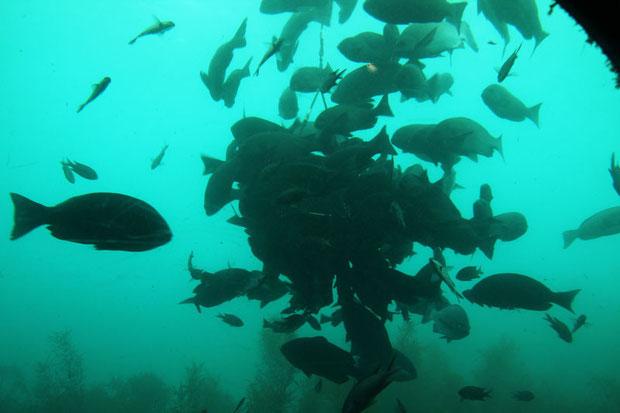 エサが入ったカゴに群がる魚たち