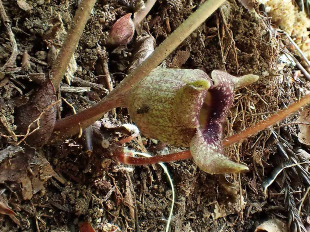 トウゴクサイシンの花の側面-2