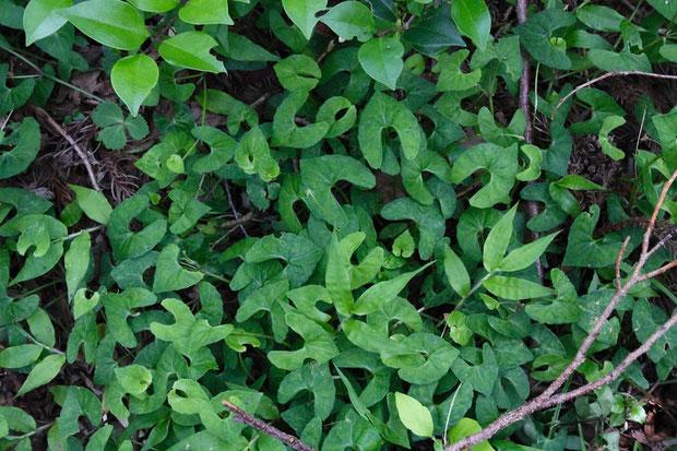 アギスミレの葉は、基部が深く湾入したブーメラン形が特徴。 花後はそれが顕著になります