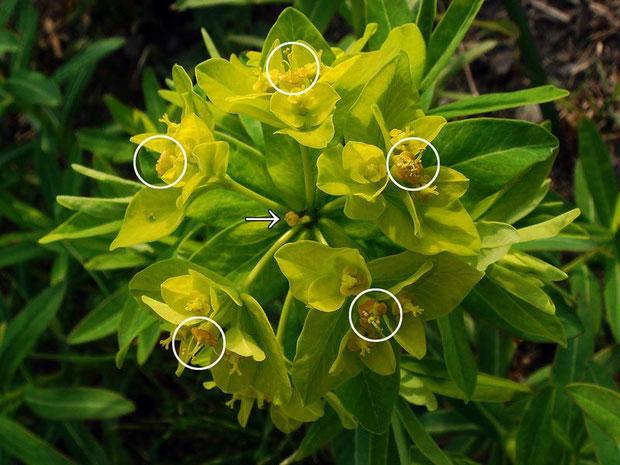 #13 ノウルシの中心の杯状花序ー2