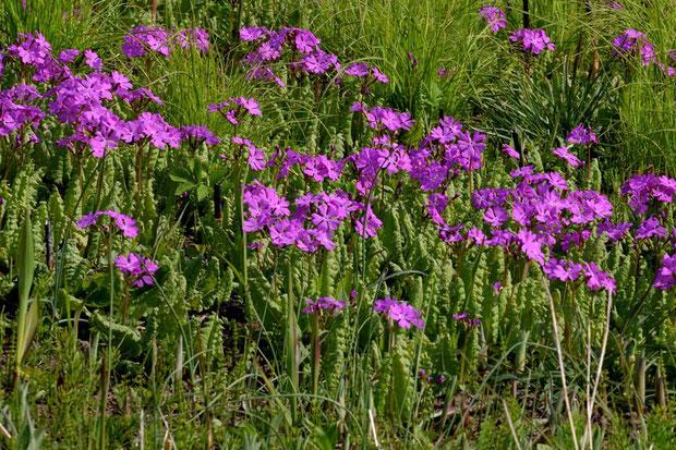 それでもノウルシに負けじと必死に花を咲かせている。 自生地は、特別天然記念物に指定されています。