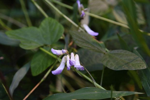 ヤブマメ (藪豆) マメ科 ヤブマメ属  葉は3小葉からなり、小葉は長さ3〜6cmの卵形です