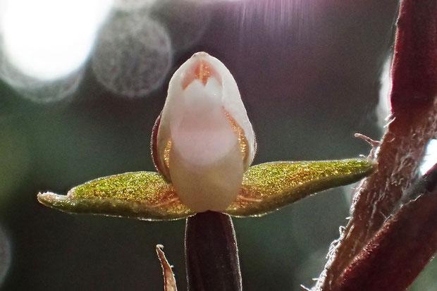 カゲロウラン 側花弁は背萼片と密着し、兜を形成します。 唇弁に距はないようです