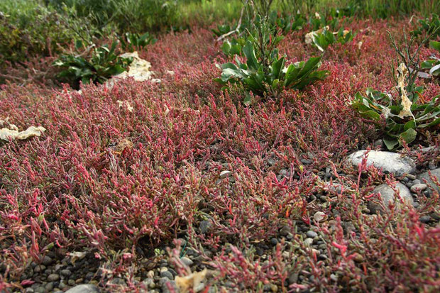 赤い植物は、ヒユ科のハママツナだと思ったのですが... もう紅葉しているのはおかしいね?