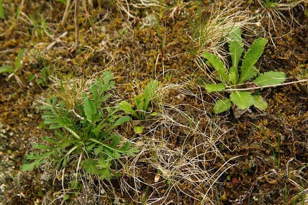 マツムシソウ 2年芽の葉(左) 1年目の葉(右)  2006.06.04  群馬県 野反湖