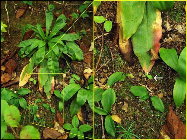 ショウジョウバカマ(猩々袴) ユリ科 ショウジョウバカマ属  不定芽が見える